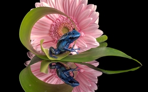 blue poison dart frogs, frog, flower, gerbera, reflection