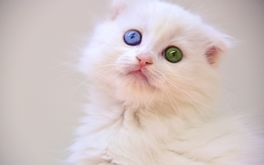 weißen Kätzchen, kitten, Augen
