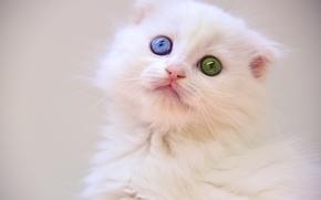 gatito blanco, gatito, ojos