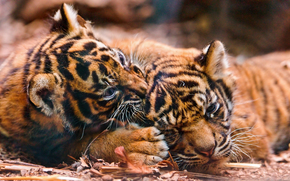 tiger, tiger cub, cubs, wildcats, predators