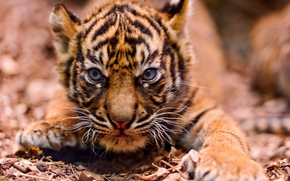tiger, tiger cub, cubs, wildcats, predators