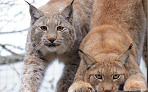 рысь, рыси, кошка, природа, животные