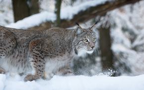 lynx, Lynx, cat, nature, animals, panorama