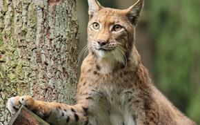 lynx, Lynx, cat, nature, animaux