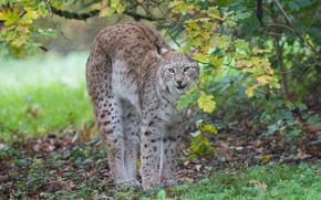 lince, Lynx, gatto, natura, animali