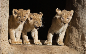Cubs, gatto, animali