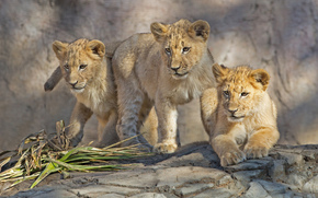 Cubs, cat, animaux