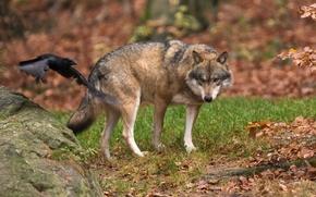 волк, хищник, животное