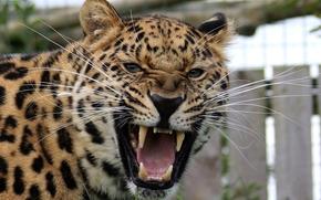 леопаод, хищник, оскал