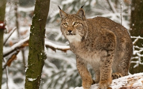 lynx, Lynx, cat, nature, animaux