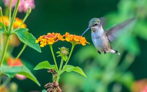 colibri, pájaro, flor