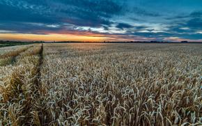 tramonto, campo, spighe di grano, paesaggio