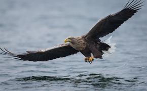 águila, depredador, pájaro