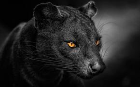 福斯, 窝, 马达加斯加果子狸家族的食肉哺乳动物, Cryptoprocta