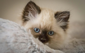 kitten, muzzle, blue eyes, view
