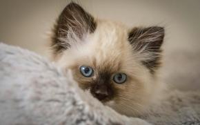 gatito, hocico, ojos azules, ver