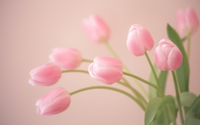 TULIPS, BUDS, tenderness