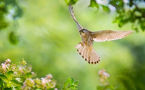 Common kestrel, falcon, bird, wings, plumage, flight, Flowers