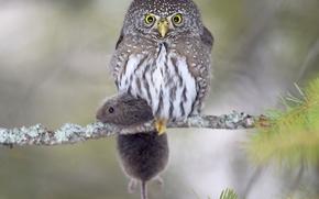 Воробьиный сыч-гном, сова, птица, полёвка, мышь, добыча, ветка