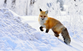fox, Redhead, snow, winter