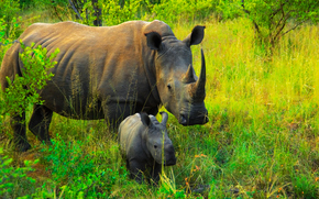 África, Animais africanos, rinoceronte, Rhinos, foto-sketchings naturalista, mãe e filho