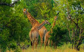 África, Animales africanos, foto-bosquejos naturalista, jirafa, jirafas
