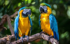 Blue Macaws, Parrots, birds