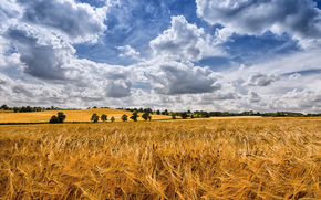 field, ears of corn, clouds, trees, landscape