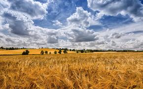 поле, колосья, облака, деревья, пейзаж