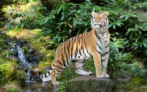 tigre, prédateur, voir