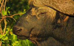 Afrique, Animaux africains, photo-naturaliste sketchings, buffle
