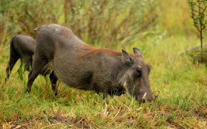Africa, African animals, photo-sketchings naturalist, Boar, warthog
