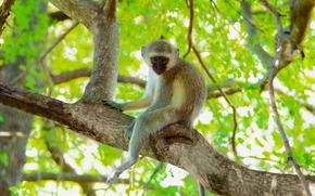 Afrique, Animaux africains, photo-naturaliste sketchings, singe