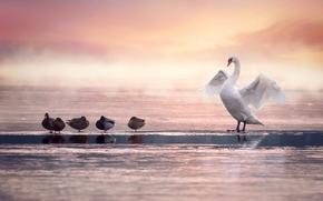 cigno, Anatra, uccelli