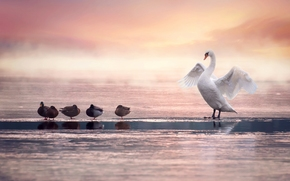 cisne, Pato, pájaros