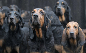 Bloodhound, Dog, pack