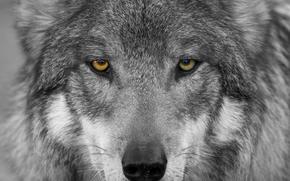 loup, prédateur, Museau, yeux, voir