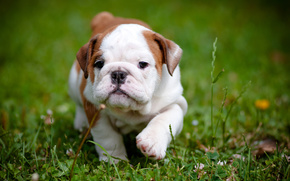 English Bulldog, puppy, dog