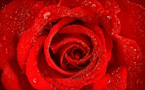 роза, бутон, лепестки, капли, макро