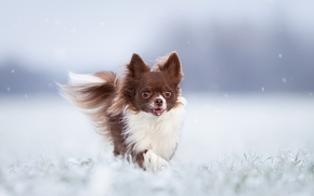 Chihuahua, dog, winter