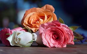 розы, бутоны, макро