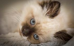 gattino, museruola, gli occhi azzurri, visualizzare