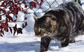 COTE, cat, snow, winter, BRANCH