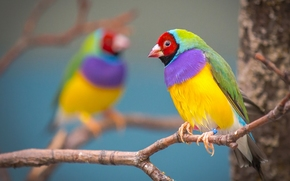 Gouldian finch, birdie, multicolored, branch