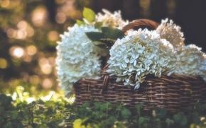 hydrangea, basket, grass