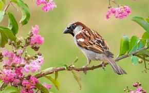 gorrión, pájaro, rama, flores