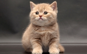 British Shorthair, kitten, baby
