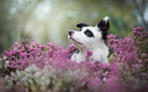 Border Collies, dog, Snout, heather