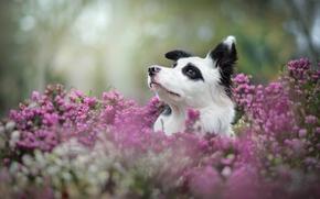 Border Collie, perro, Hocico, brezo