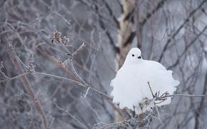 Белохвостая куропатка, куропатка, белая, птица, ветки, зима